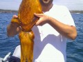 Giant Australian Cuttlefish (Sepia apama) - by Nick Martin